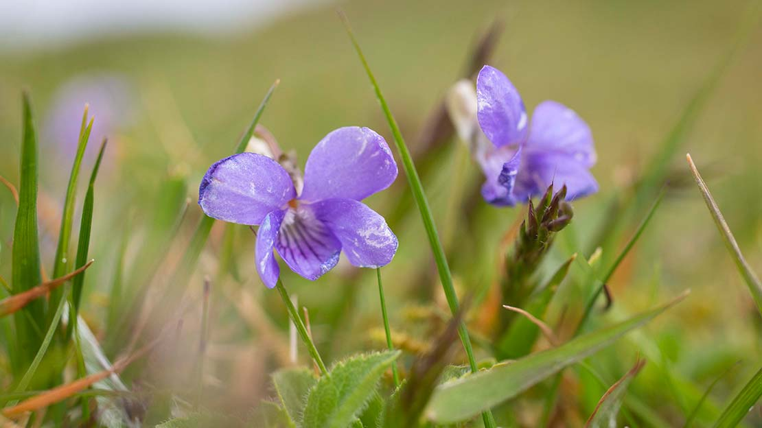 close up of small purple flower ,dog violet-The 7 Principles - Leave what you find